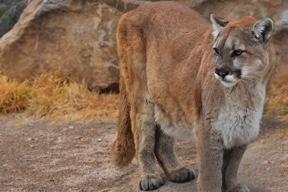 PICT Mountain Lion - CPW
