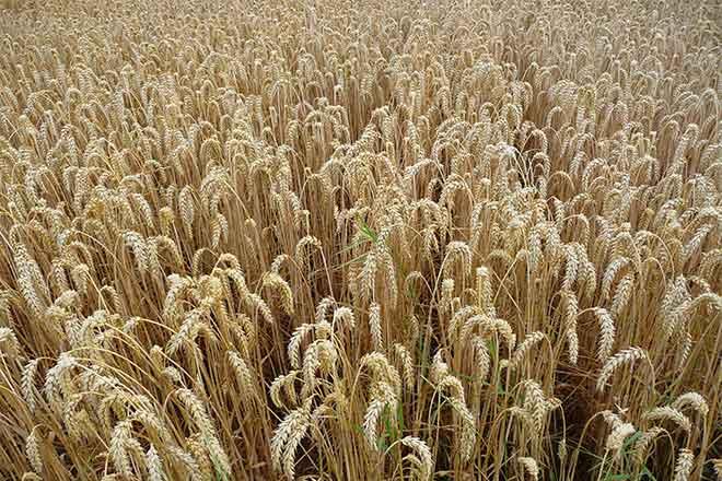 PROMO Agriculture - Ripe Wheat - Wikimedia - public domain