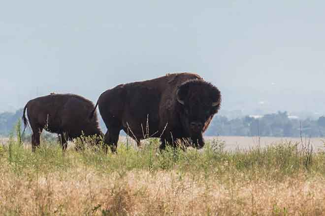 PROMO Animal - American Bison Rocky Mountain Arsenal National Wildlife Refuge - USFWS - Kayt Jonsson - public domain