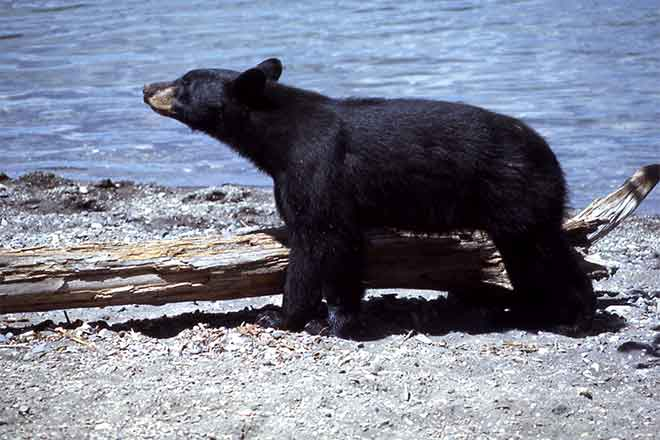 PROMO Animal - Black Bear - Wikimedia - Public Domain