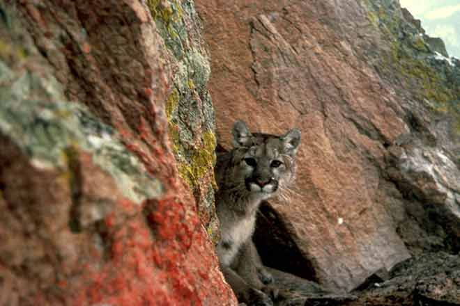 Mountain lion attack victim - photo#39