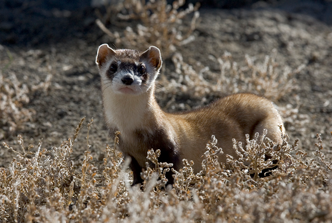 PROMO 660 x 440 Animal - Black Footed Ferret - USFWS