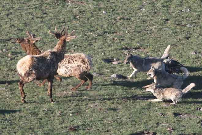 PROMO Animal - Wolves Hunting Elk Wolf - NPS
