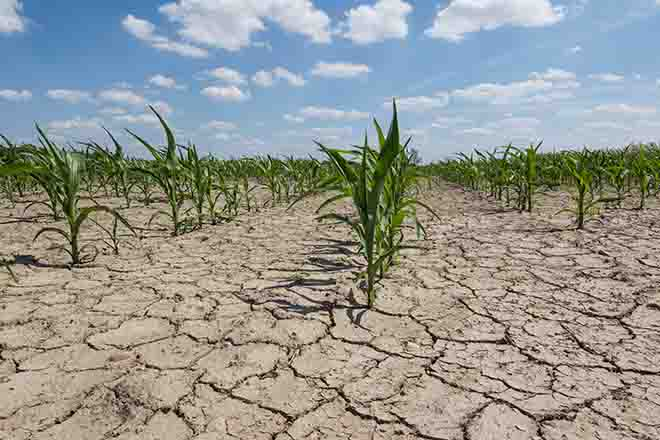 PROMO 64J1 Weather - Drought Cracked Mud Corn Field Agriculture - iStock - Taglass