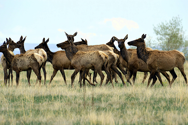 PROMO 660 x 440 Animal - Elk Herd Rocky Flats National Wildlife Refuge - USFWS - Ryan Moehring - public domain