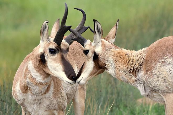PROMO 660 x 440 Animal - Pronghorn Antelope Close Up Arapaho National Wildlife Refuge - USFWS - Tom Koerner - public domain