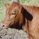 PROMO 660 x 440 Animal - Agriculture Cattle Red Angus Heifer - Wikimedia