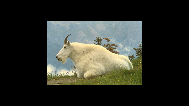 Reward Increased to $15,000 in Killing of Two Mountain Goats