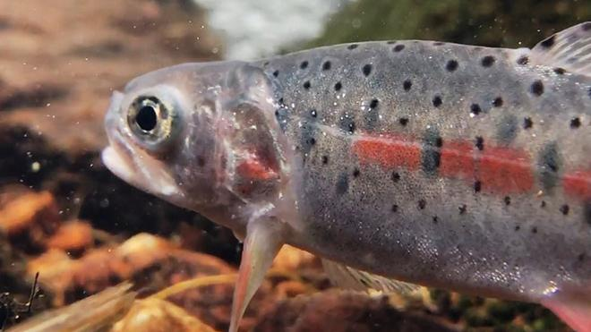 Greenback Cutthroat Trout Return to Ancestral Waters (video)