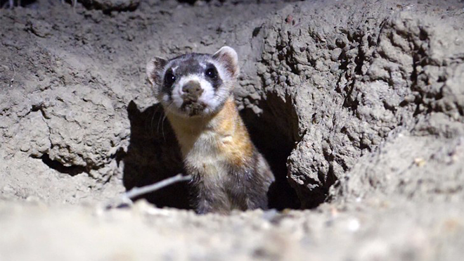 Endangered Ferrets Released to Wild as Colorado Parks Works to Rescue Species