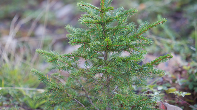 Forest Service Proposes Doubling Fee for Cutting Christmas Trees