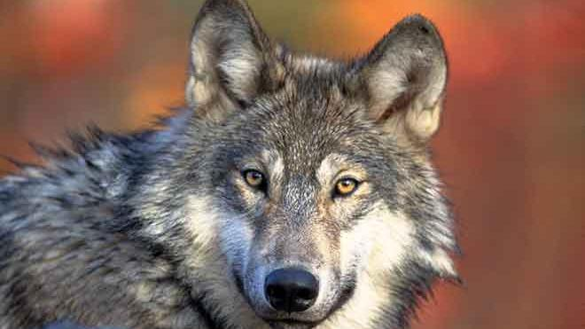 PROMO 64J1 Animal - Gray Wolf - USFWS