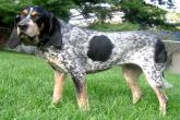 PICT Dog Bluetick Coonhound