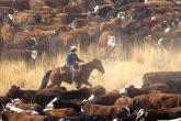 PROMO Agriculture - Cowboy Horseback Cattle - iStock - johnrandallalves