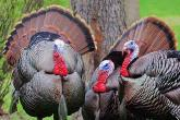 PROMO Animal - Bird Turkey Thanksgiving - iStock - Jeffengeloutdoors.com