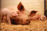PROMO 660 x 440 Animal - Sow Piglets - Wikimedia