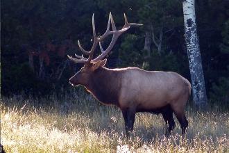 Colorado Parks Seeks Opinions on Elk Management