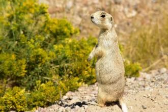 Fish and Wildlife Says White-Tailed Prairie Dog won't be Listed as Endangered