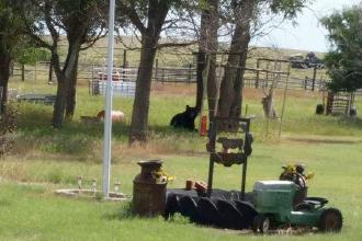 Black Bear Tranquilized Near Eads