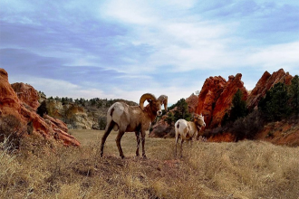 Weeks of Preparation, Chaotic 'Bighorn Sheep Rodeo' Pay Off in Herd Restoration