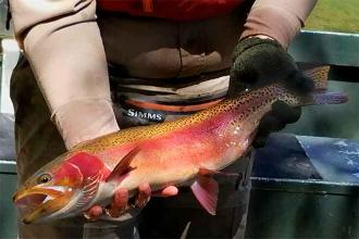 Rainbow trout resistant to whirling disease thrive in Arkansas River
