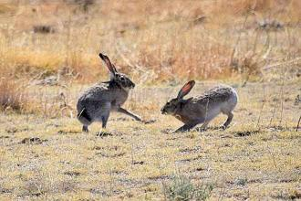 Rabbit Hemorrhagic Disease confirmed in El Paso, Prowers counties
