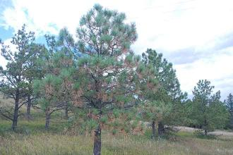 Dying, Off-Color Pine Needles Normal in Autumn