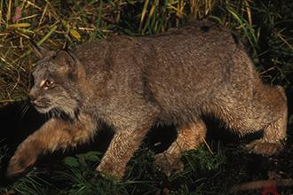 Lynx died of natural causes