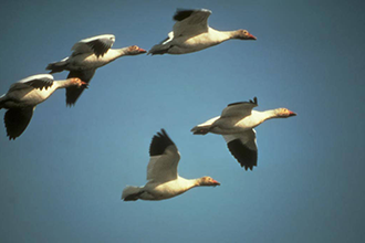 High Plains Snow Goose Festival Celebrates Winter Roost for Migratory Geese