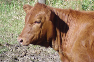 Alternative Feeds for Cattle During Drought