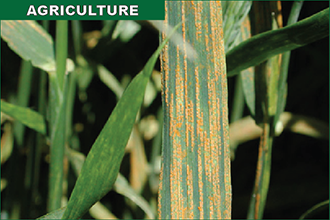 Stripe Wheat Rust Found in Eastern Colorado