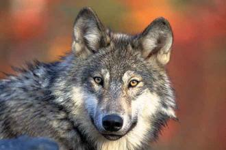 Group collects 168,000 signatures to put gray wolf restoration initiative on Colorado ballot