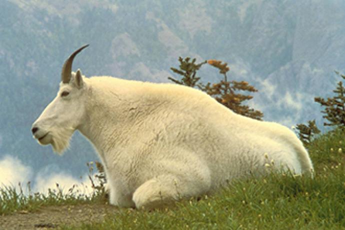 PICT Mountain Goat - USFWS