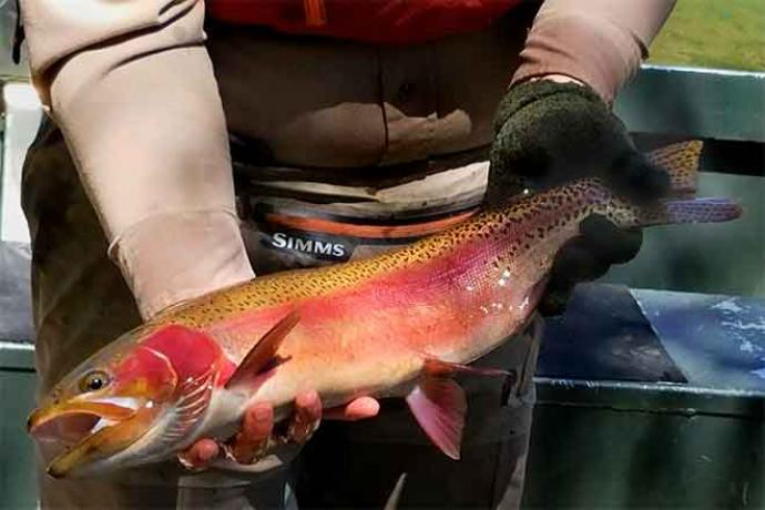 Rainbow Trout Fish - CPW - Bill Vogrin