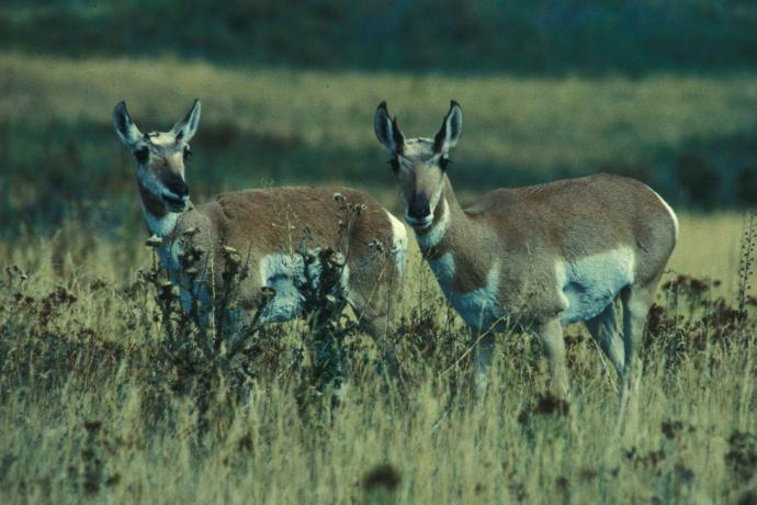 Animal - Antelope Pronghorn Bucks - USFWS