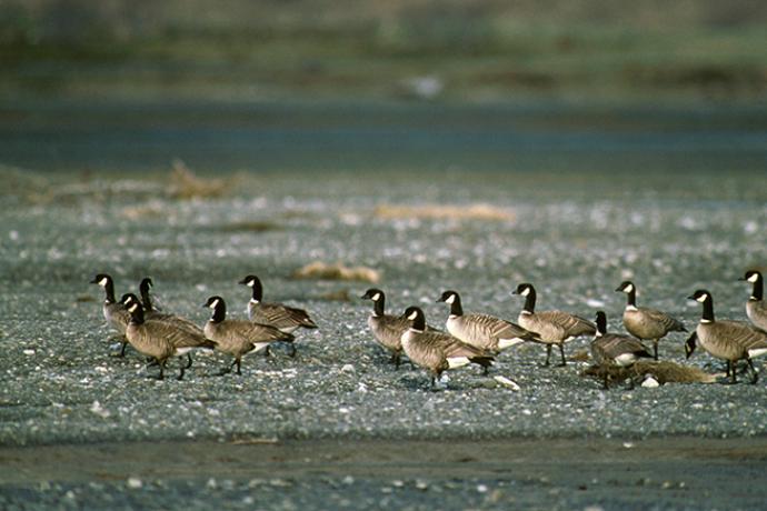 PROMO 660 x 440 Animal - Aleutian Canada Geese - USFWS
