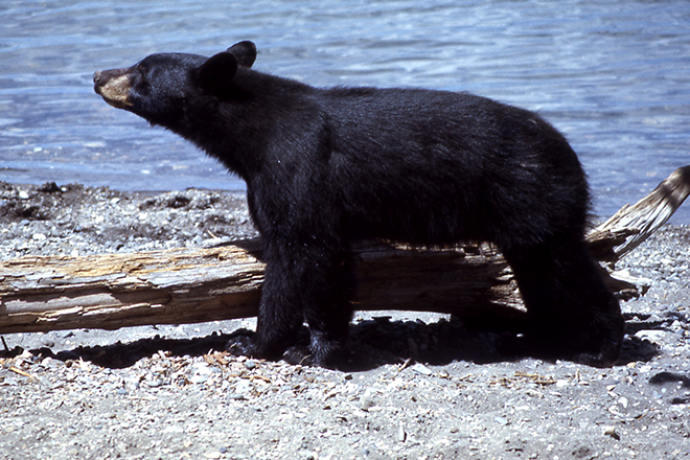 PROMO 660 x 440 Animal - Black Bear - Wikimedia - Public Domain