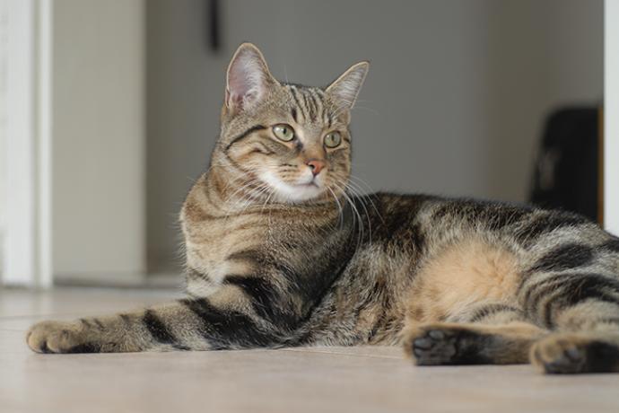 PROMO 660 x 440 Animal - Cat European Shorthair - wikimedia