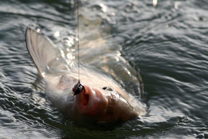 PROMO 660 x 440 Animal - Fish Brème Line - possible Wikimedia