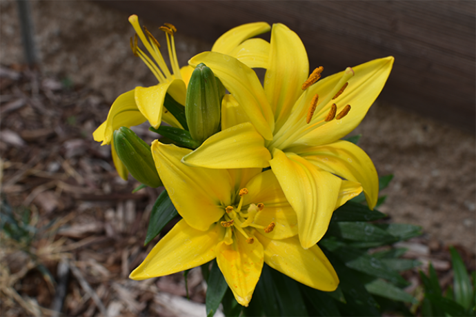 PROMO 660 x 440 Garden - Lily Flower Yellow - Chris Sorensen