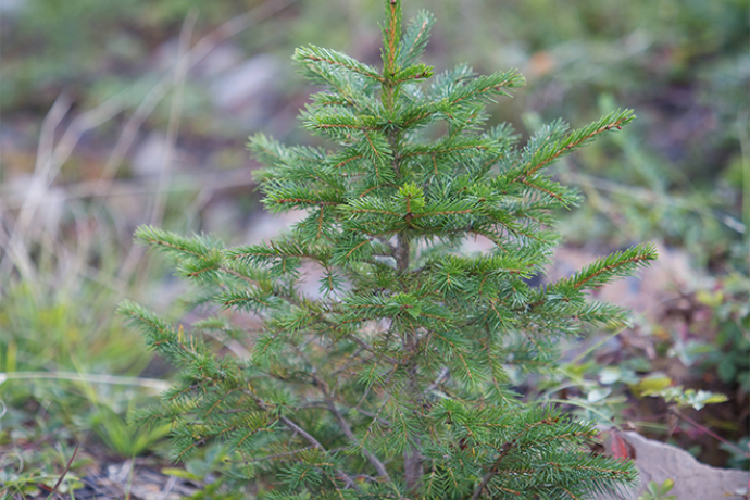 PROMO 660 x 440 Outdoors - Red Spruce Tree