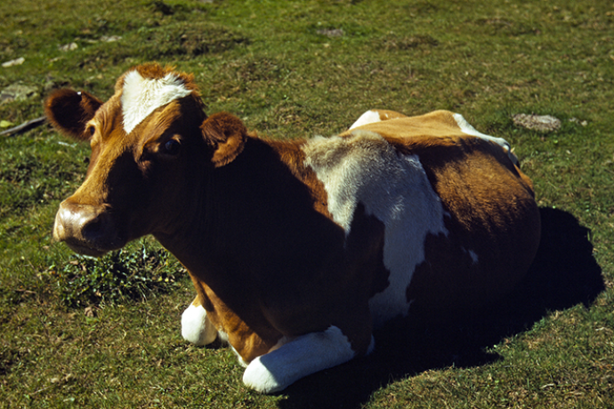 PICT Animal - Guernsey Cattle