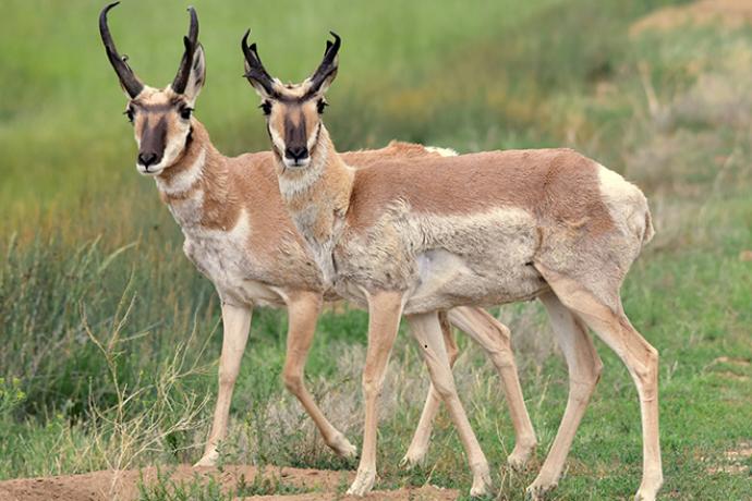 PROMO 660 x 440 Animal - Pronghorn Antelope Arapaho National Wildlife Refuge - USFWS - Tom Koerner - public domain