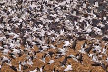 PICT - Snow Geese in Flight - Sharon Stitler