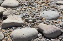 PICT Plover eggs at John Martin Reservoir - CPW