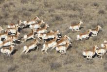 PICT Pronghorn Antelope Herd Running - CPW