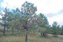 PICT Autumn needle drop in a ponderosa pine tree - CSFS