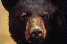 PROMO Outdoors Bear