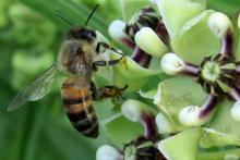 PROMO Animal - Insect Bee Antelope Horn - Wikimedia