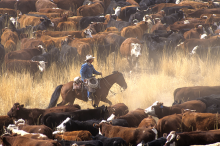PROMO 660 x 440 Agriculture - Cowboy Horseback Cattle - iStock